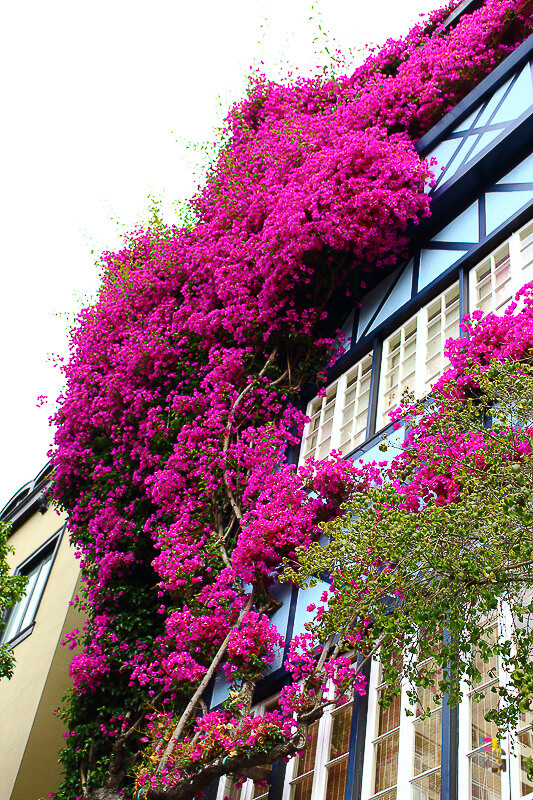 A Journey Of Colour - San Francisco Bougainvillea Photo